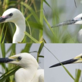 Little Egret facial skin variation
