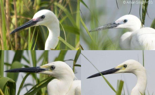 Little Egret facial skin variation
