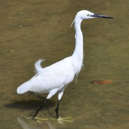 LITTLE EGRET – BREEDING PLUMAGE