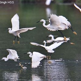 Little Egrets fishing