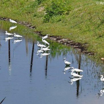 Little Egret – foraging/fishing technique