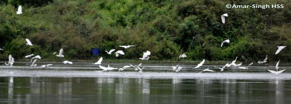 Feeding behaviour of herons: 4. Little Egret
