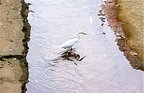 Little Egret's leg-tapping foraging strategy