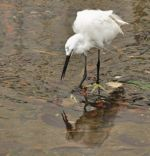 Little Egret – More Foot Tapping