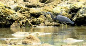 PACIFIC REEF EGRETS – FISHING IN PULAU TIOMAN, Malaysia