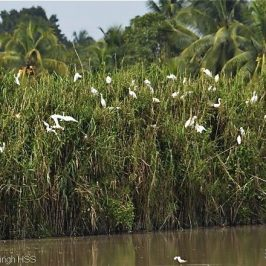 Intermediate Egret breeding in Peninsular Malaysia [III]