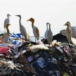 Cattle Egrets feeding at rubbish dump