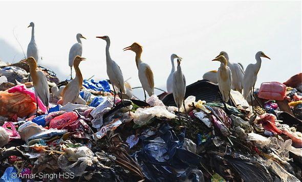 Cattle Egrets feeding at rubbish dump