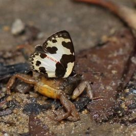 Elbowed Pierrot butterfly puddling on a crab