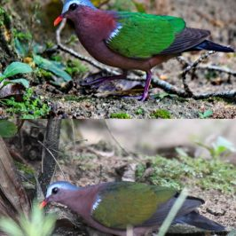 "Emerald Dove's ""emerald green"" plumage"