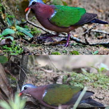 "Emerald Dove's ""emerald green"" plumage"