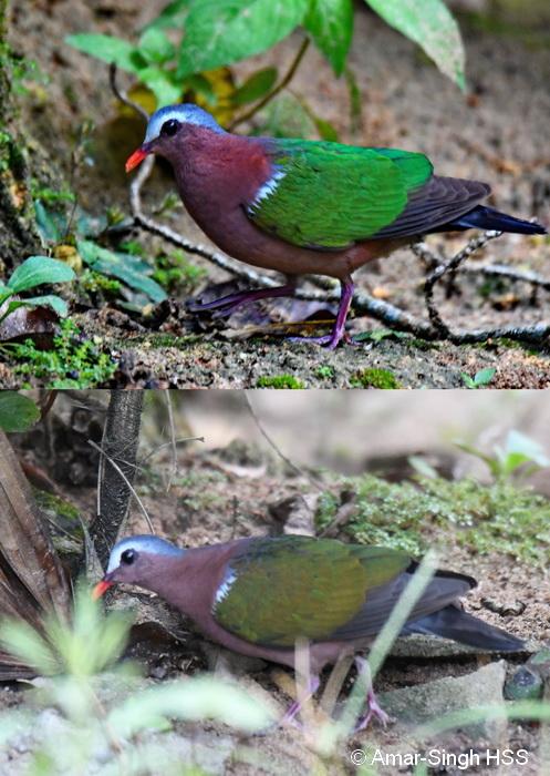Emerald Dove-3a-Ipoh, Perak, Malaysia-29th August 2017