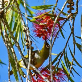 Everett's White-eye feeding on nectar and ants