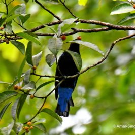 Asian Fairy-bluebird – food sources