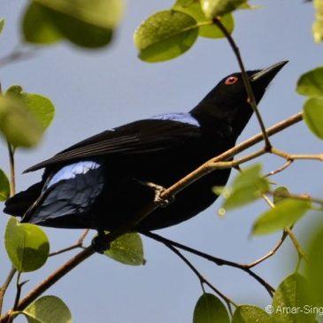 Asian Fairy-bluebird – male feeding on Ficus benjamina