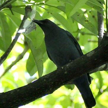 Asian Fairy-bluebird – Female feeding on moth