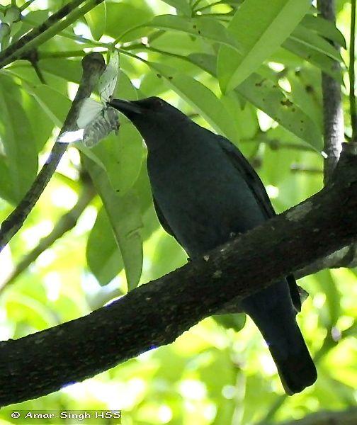 Asian Fairy-bluebird - Female feeding on moth