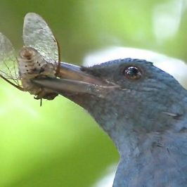 Asian Fairy-bluebird catches a cicada