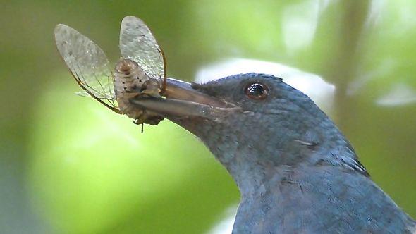 Asian Fairy-bluebird catches a cicada