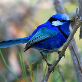 Sex and the Birds: 8. Splendid Fairy-wren, monogamous and promiscuous