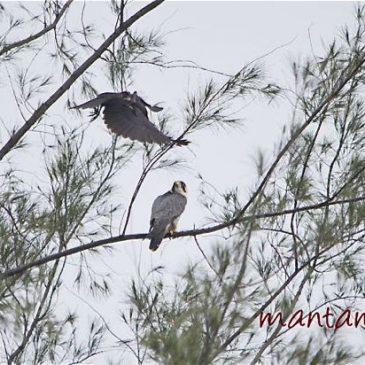 House Crow's novel way of mobbing Peregrine Falcon