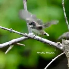 Pied Fantail – fledging