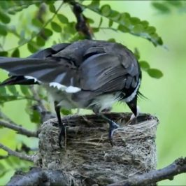 Pied Fantail: Adult eats chick's faecal sac
