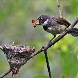 Feeding of Pied Fantail nestlings