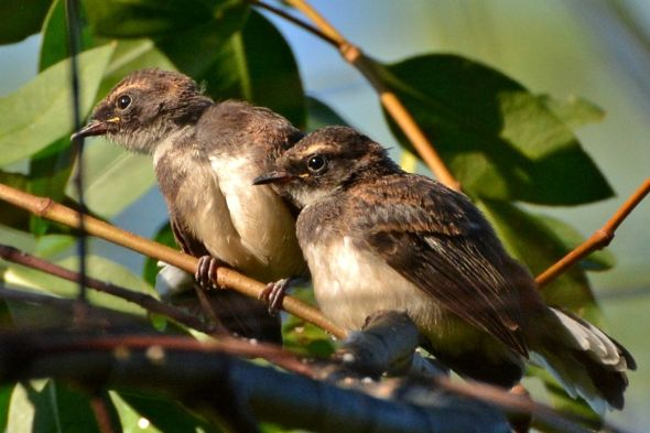 Pied Fantail Fledglings