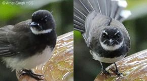 Pied Fantail bathing behaviour and sexing