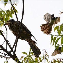 Pied Fantail mobbing Asian Koel