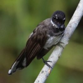Moulting Pied Fantail