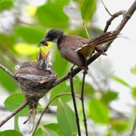 Pied Fantail feeding a pair of chicks in the nest