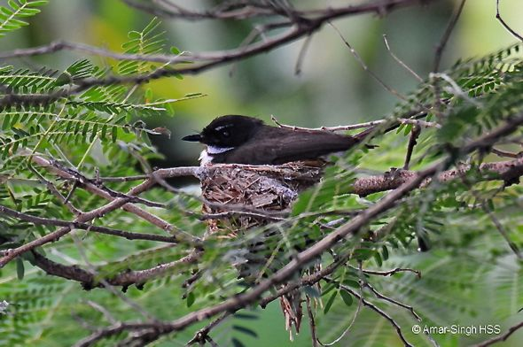 Pied Fantail nesting