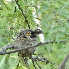 Pied Fantail: Adult feeding chicks