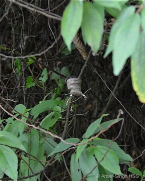 White-throated Fantail nesting