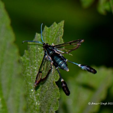 Feather Legged Moth (Macrotarsipus similis)