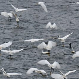 Egrets, Herons, Cormorants in fish feeding frenzy
