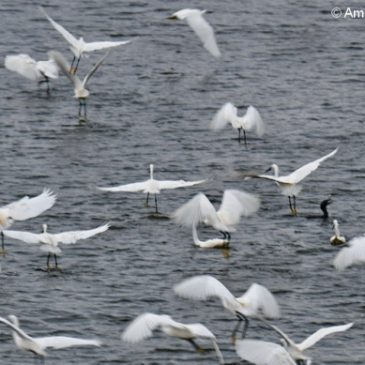 Egrets, Herons, Cormorants in fish feeding frenzy