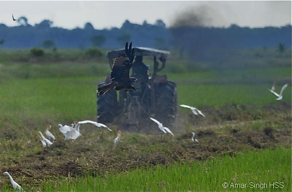 Birds feeding on rats in the rice fields of Ulu Dedap, Perak, Malaysia