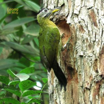 Laced Woodpecker – Excavation
