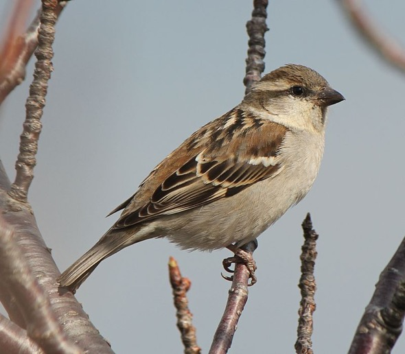 Female Russet Sparrow (Photo Credit: Wikipedia Commons)