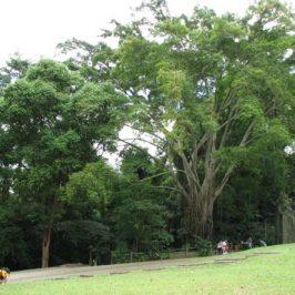 Trees for Birds: 1. <em>Ficus benjamina</em> (Waringin, Weeping Fig)