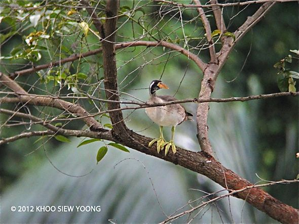 Masked Finfoot – immature male sighted in Ipoh