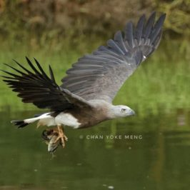Grey-headed Fish-eagle caught a bittern