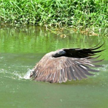 Grey-headed Fish-eagle canopy feeding