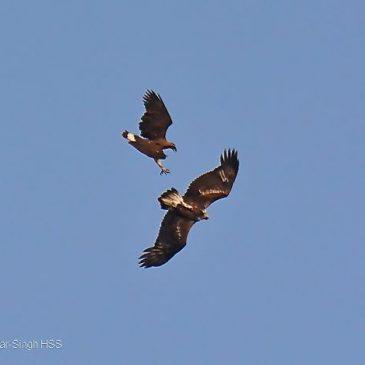 Grey-headed Fish-eagle vs White-bellied Sea-eagle
