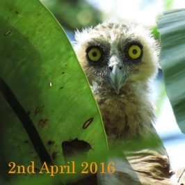 BUFFY FISH-OWL – CHICK GROWING UP