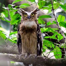 Buffy Fish-owls' gular fluttering