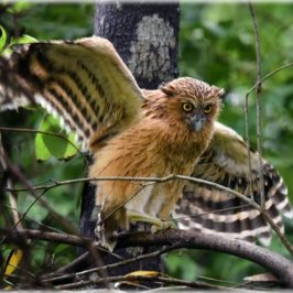 Buffy Fish-owl's first flight